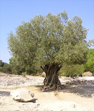 Sanlucar la Mayor olive tree
