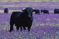 Province of Cadiz Bull standing in field of bugloss