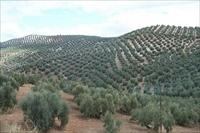 Sanlucar la Mayor olive grove