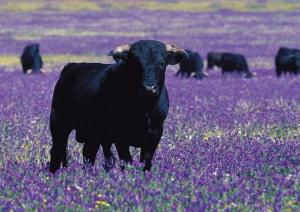 Spain: toros bravos in field of bugloss